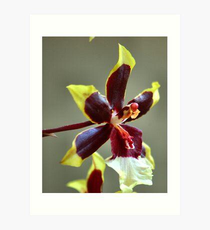 orchid species - ONCIDIUM Art Print