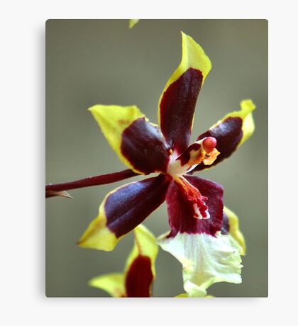 orchid species - ONCIDIUM Canvas Print