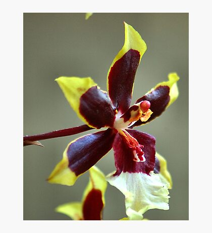 orchid species - ONCIDIUM Photographic Print
