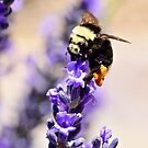 Bumble Bee on Lavender by rrushton