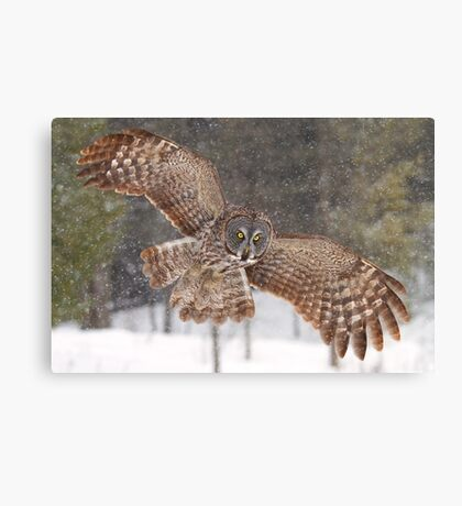 Awesome! - Great Grey Owl Canvas Print