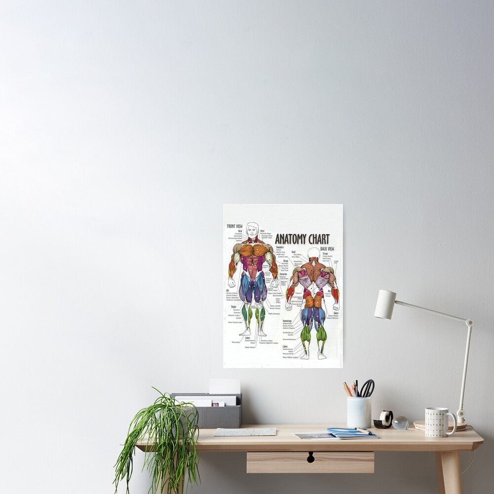 Anatomy Chart - Muscle Diagram Poster