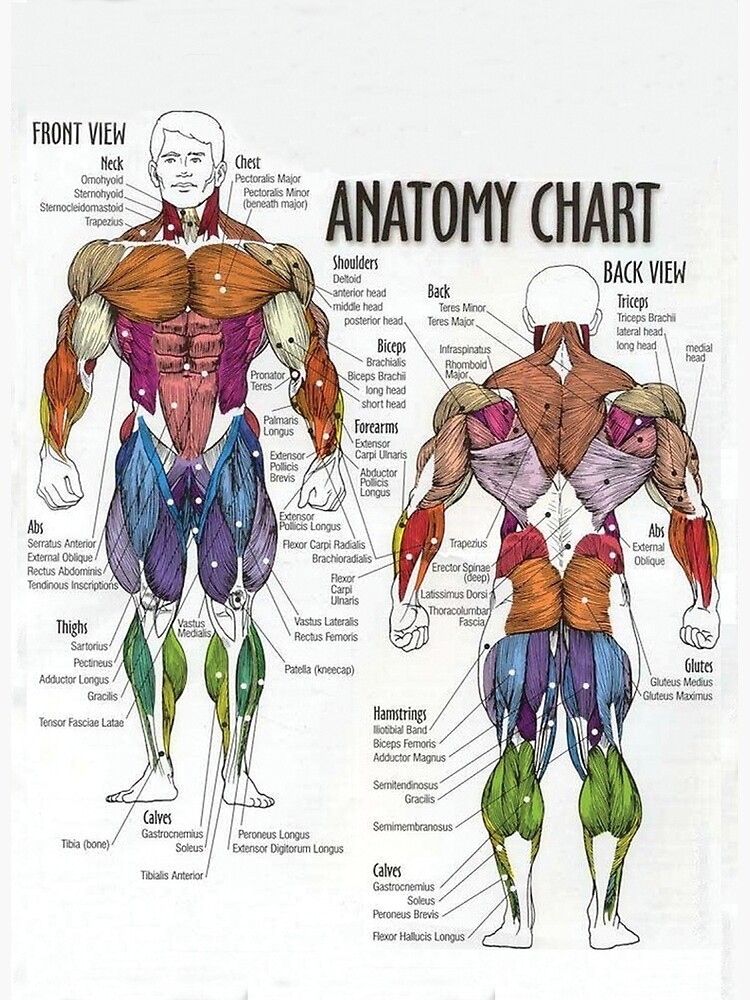 Anatomy Chart - Muscle Diagram by superfitstuff