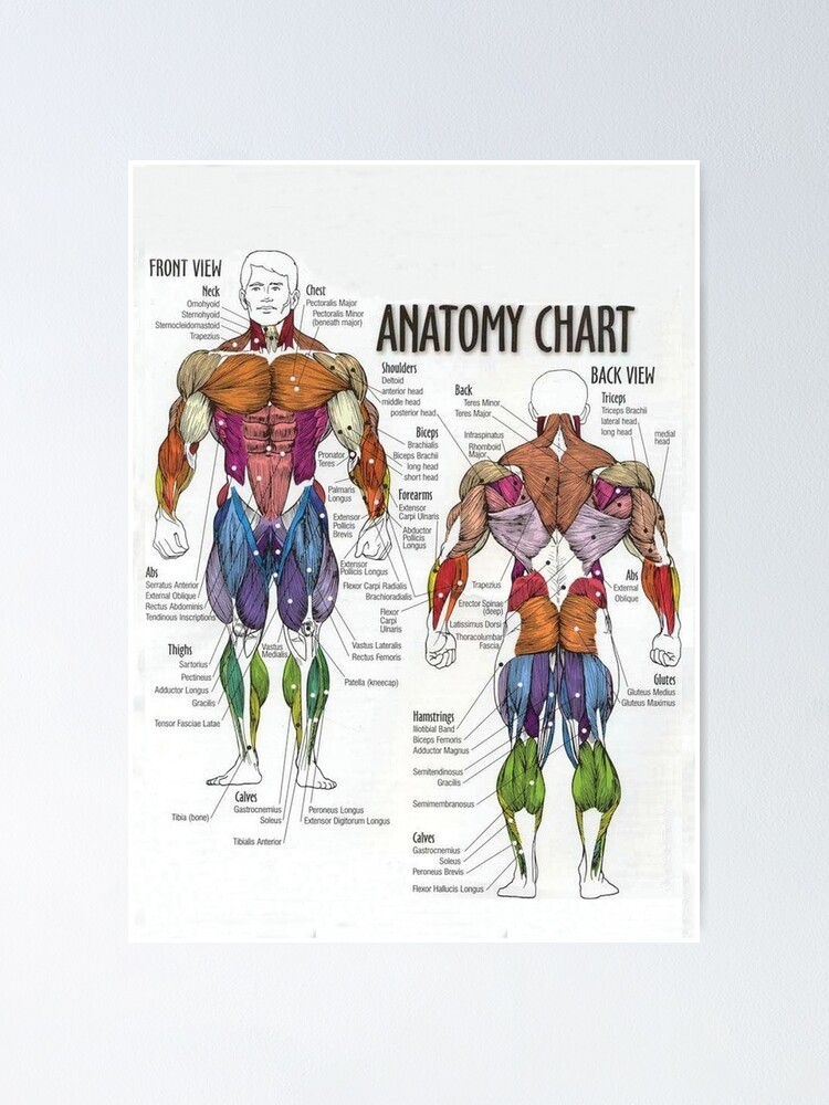 Alternate view of Anatomy Chart - Muscle Diagram Poster