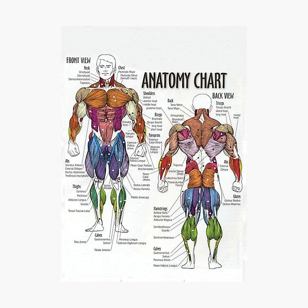 Anatomy Chart - Muscle Diagram Photographic Print