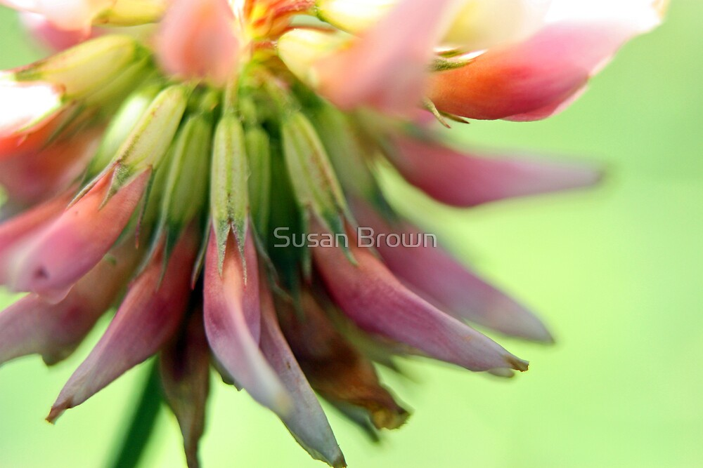 Legs of Clover by Susan Brown