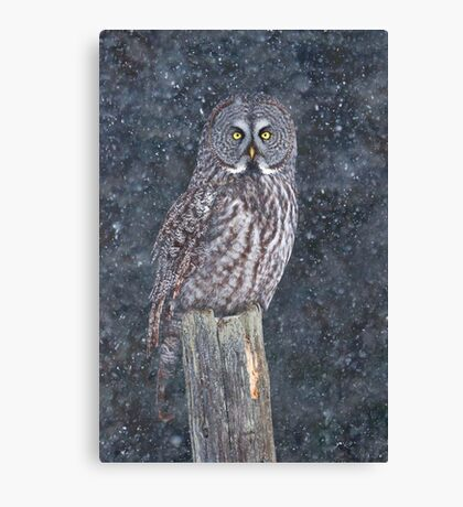 Great Grey Owl in Snow Canvas Print