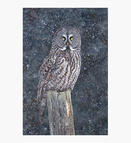 Great Grey Owl in Snow Photographic Print