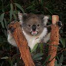 Koala - Australia's Star Performer by Mark Elshout