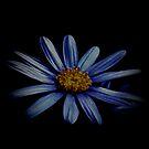 Blue Daisy On Black by Lynda Anne Williams