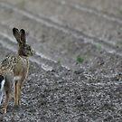 Old hare in dispair  by Peter Voerman