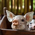 Adorable pigs by Manon Boily