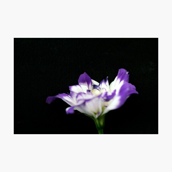 bluebell 1 Photographic Print