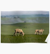Sheep In The Grampians Poster