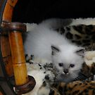 Murphy, my Basket Kitty at one month old by Marjorie Wallace
