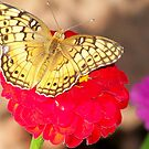 checked butterfly by Tracey Hampton