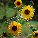 Wild Sunflower by Colleen Drew