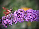 Hummingbird Moth by Aaron Campbell