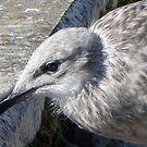 Almost Ready....Young Gull at Lyme. Dorset UK by lynn carter