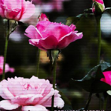 Botanical Rose garden, Brisbane Garden Point, Paula Deacon PE by DeaconPE