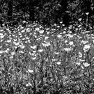 Buttercups in Black and White by MotherNature2
