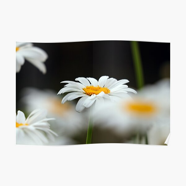 Oxeye daisies I Poster