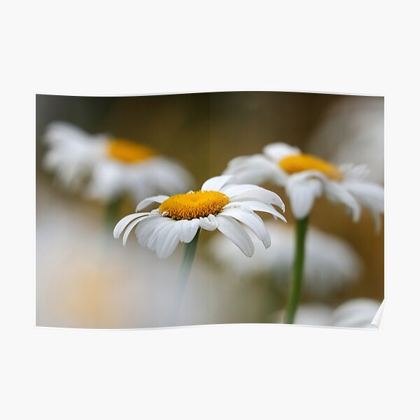 Oxeye daisies II Poster
