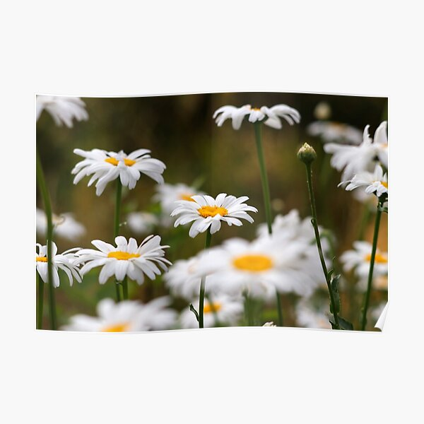 Oxeye daisies III Poster
