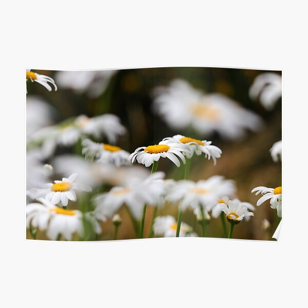 Oxeye daisies IV Poster