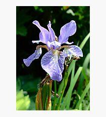 Iris. Photographic Print