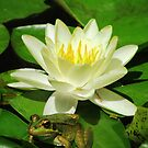 Little green frog with lilly flower by viaterra-photos