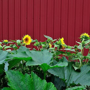 Sunflowers Against Barn by seacucumber