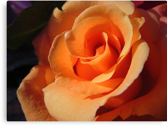 Peach Rose by cinderella1181