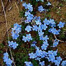 Arctic Forget-Me-Not by Kimberlee Brent