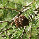 Pine Cones by Gillen