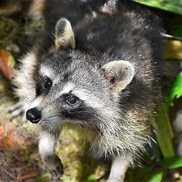 raccoon by pacoce1