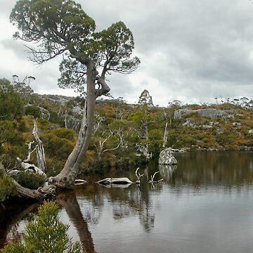 Pencil Pine at the Wombat Pool, Cradle Mountain, Tasmania, Australia. by kaysharp