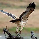 WAHLBERG'S EAGLE - Aquila wahlbergi - Bruinarend von Magriet Meintjes