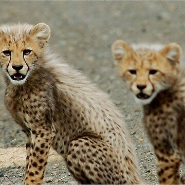 TIME TO GO ! THE CHEETAH - Ancinonyx jabatus - JAGLUIPERD by mags