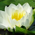 American White Water Lily  by lorilee