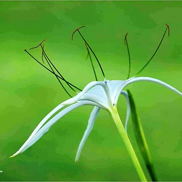 THE SPIDER LILY by mags