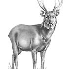 Sambar Stag by Patricia Howitt