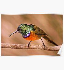 Orange-breasted Sunbird Poster