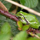Tree Frog by Minne