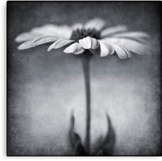 B&W daisy by Barbara  Corvino