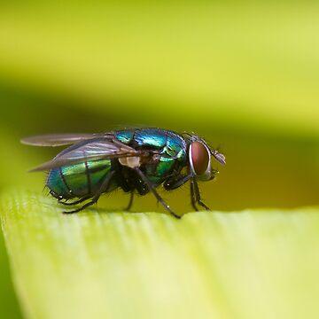 Greenbottle fly by jon77lees