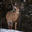 White-tailed buck in winter by Jim Cumming