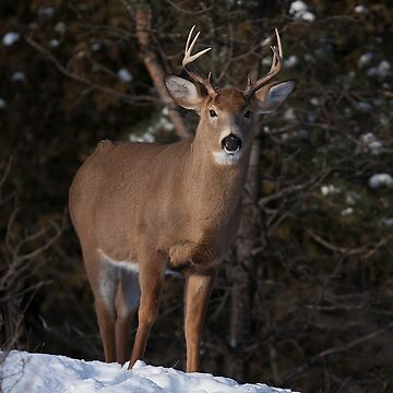 White-tailed buck in winter by darby8
