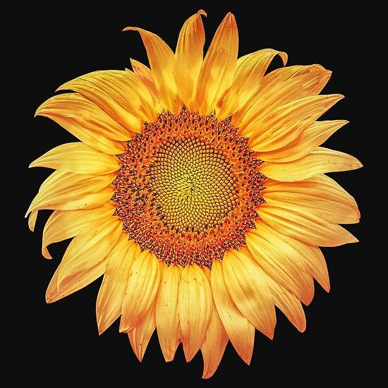 Summer Sunflower by Phil Perkins