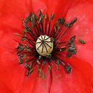 Red Poppy by DIANE  FIFIELD